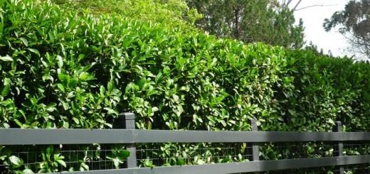 Evergreen trees Australia